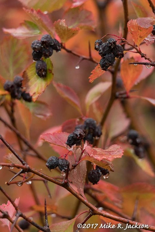 Black Hawthorn Berries
