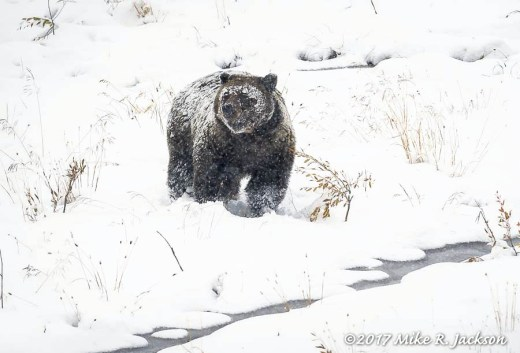 Grizzly in a Mountain Meadow