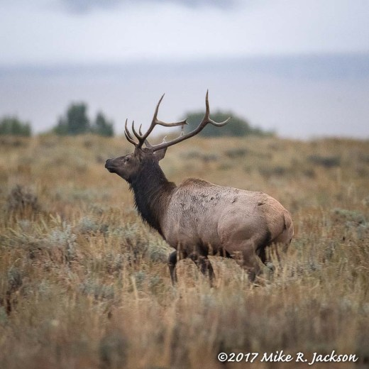 Misty Morning Elk