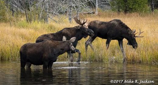 Moose Trio