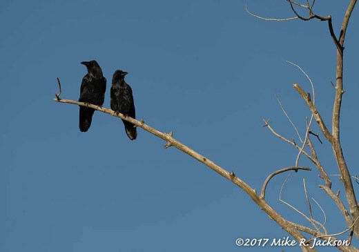 Ravens or Crows