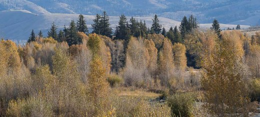 Gros Ventre Trees