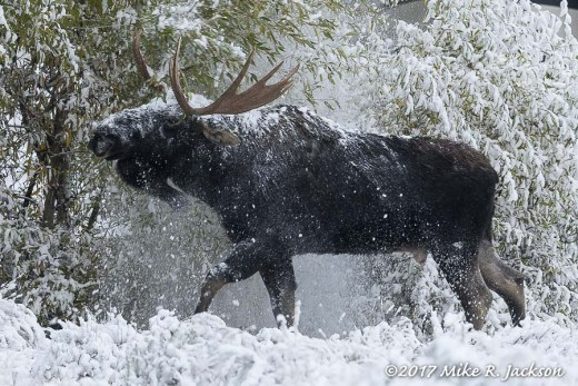 Moose Thrashing