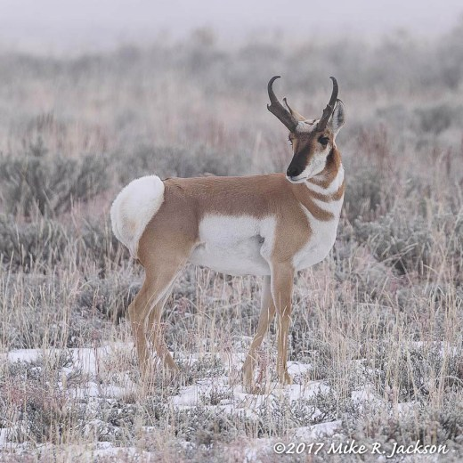 Pronghorn in Fog