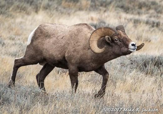 Approaching Bighorn Ram