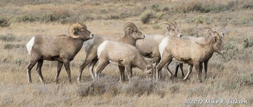 Bighorns on the Refuge