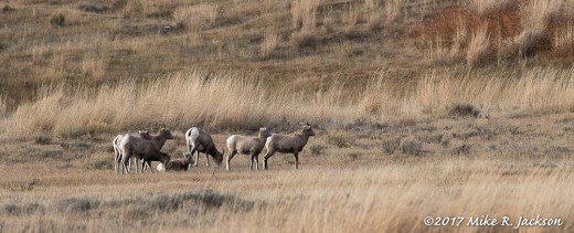 Bighorn Ewes and Lambs