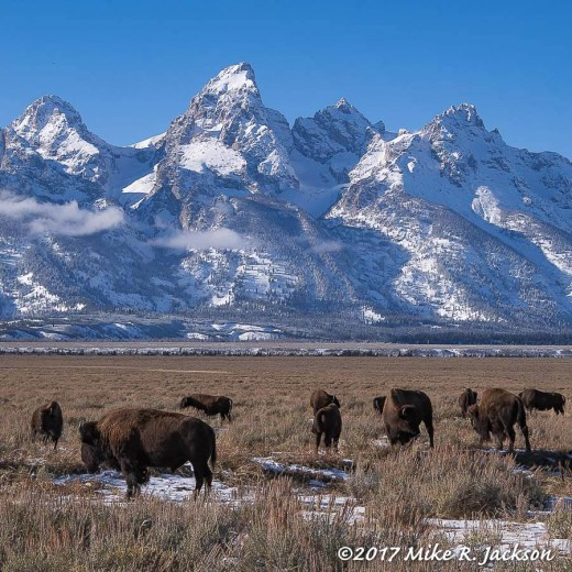 Bison and Tetons