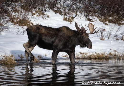 Bull Moose Entering Water
