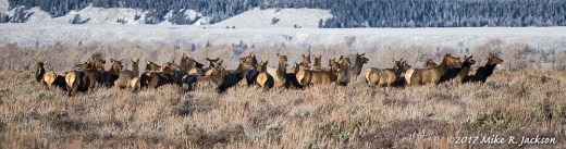 Elk Herd with No Place to Go