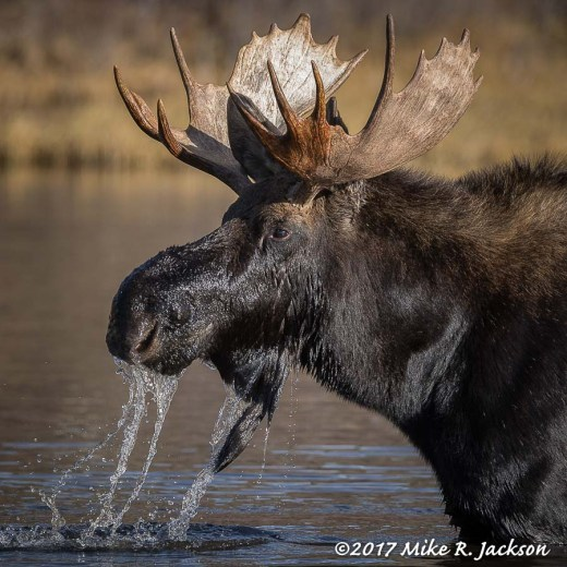 Moose in Pond
