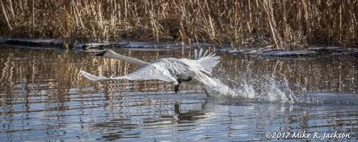 Trumpeter Swan Take Off