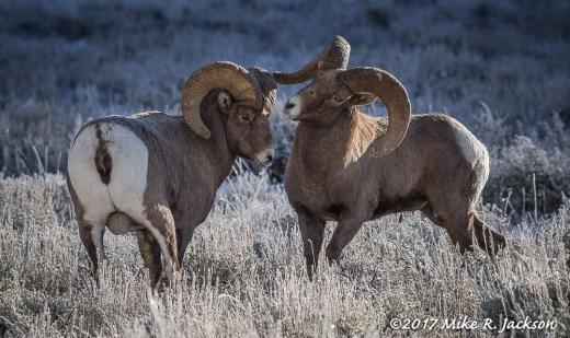 Bighorns