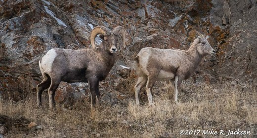 Bighorns Against Rocks