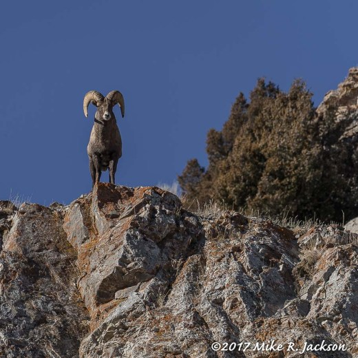 Ram On Ridge