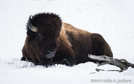 Resting Bison Bull