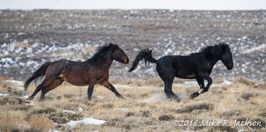 Chasing Stallions