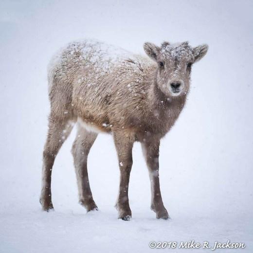 Little Bighorn Lamb