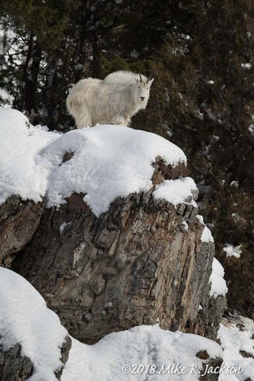 Mtn. Goat