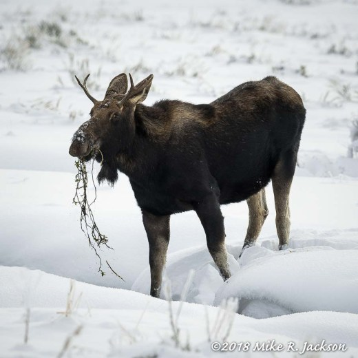 River Bottom Moose