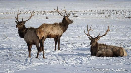 Alert Elk