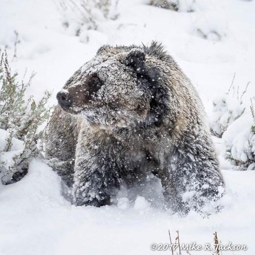 Griz in Snow