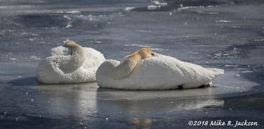 Sleeping Swans