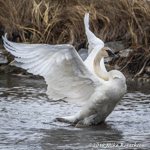 StretchingSwan