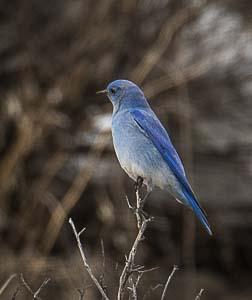 First Bluebird