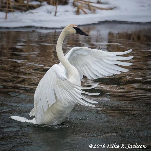 Stretching Swan