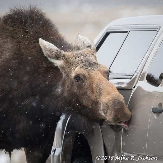 Moose Licking Vehicle
