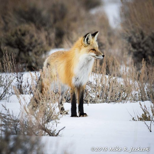 Third Red Fox