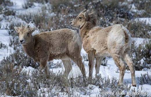 Young Bighorns