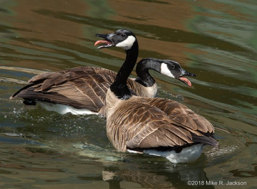 Riled Canada Geese