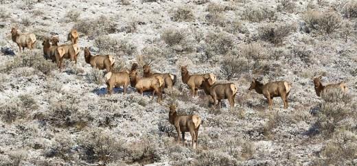 Hillside Elk