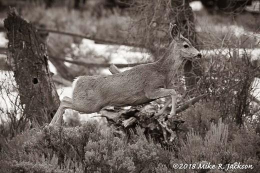 Mule Deer ~ Sepia Tone: