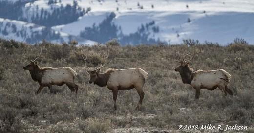 Elk Refuge Elk