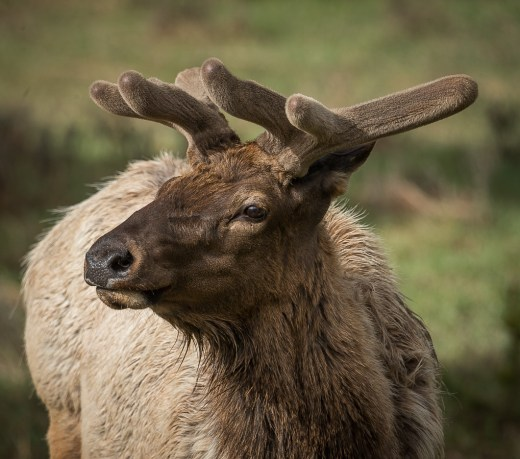 Bull Elk in Early Velvet