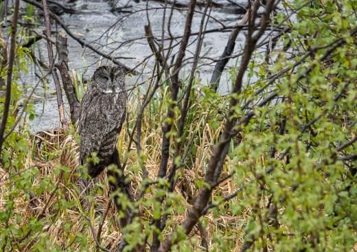 Rain Soaked Great Gray Owl