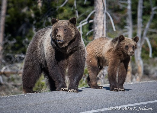 Grizzly 399 and One Cub