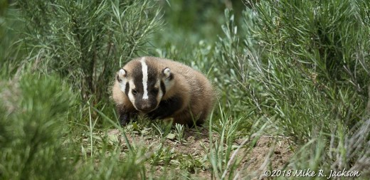 Badger Pup
