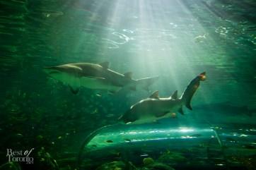 Ripleys-Aquarium-BestofToronto-2013-016