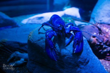 Rare electric blue lobster