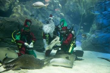 Ripleys-Aquarium-Scuba-Claus-BestofToronto-2013-003