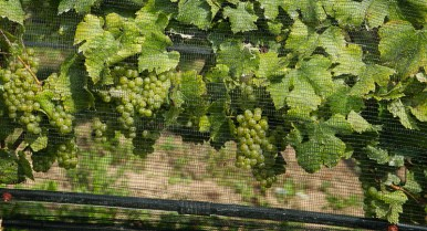 Nets protect the grapes from birds