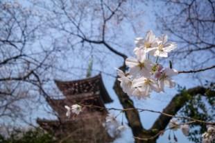 Le parc Ueno au moment de Hanami, la floraison des cerisiers