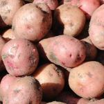 Growing Potatoes In Your Backyard Garden