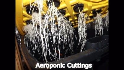 Aeroponic Cloning The Easy Option?