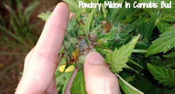 Powdery Mildew in bud