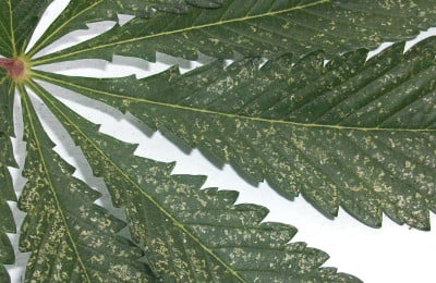 How to detect whitefly on Marijuana plants?